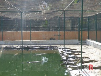 Garial taking sun-bath at Crocodile Centre at Deori, Morena , Madhya Pradesh.