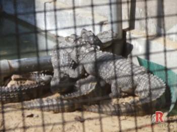 The Crocodile Centre at Deori, Morena in captivity.