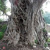 Very old and big Banyan tree.