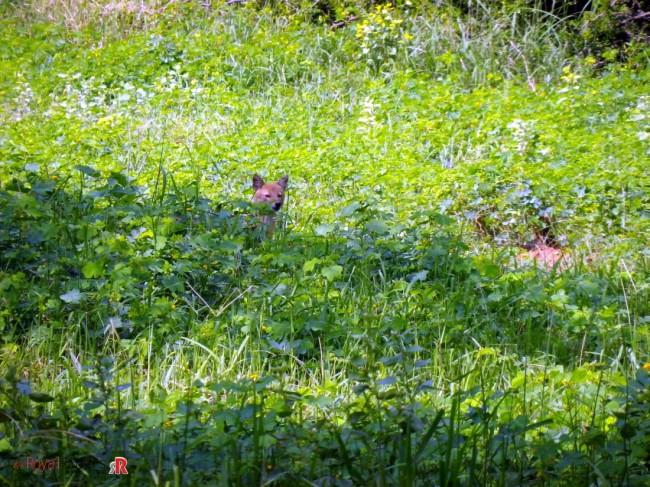 Spotted Fox in Sariska Wildlife Sanctuary.