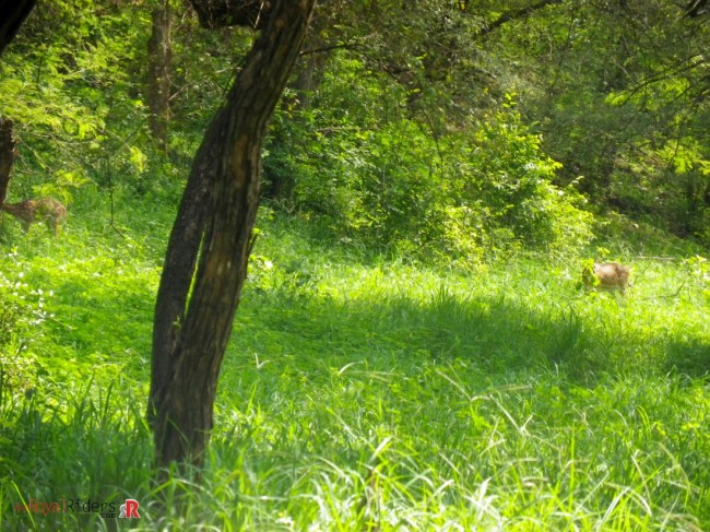 Deers spotted by us in Sariska National park.
